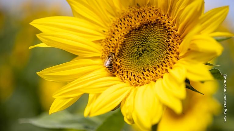 Biene in einer Sonnenblume