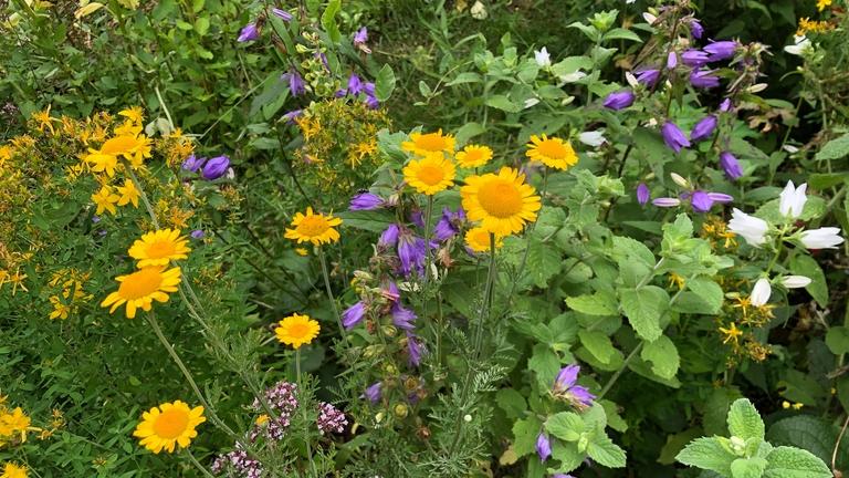 Blumenwiese für Bienen angelegt