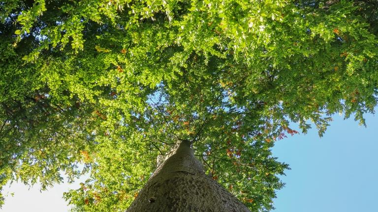 Baumkrone von unten fotografiert.